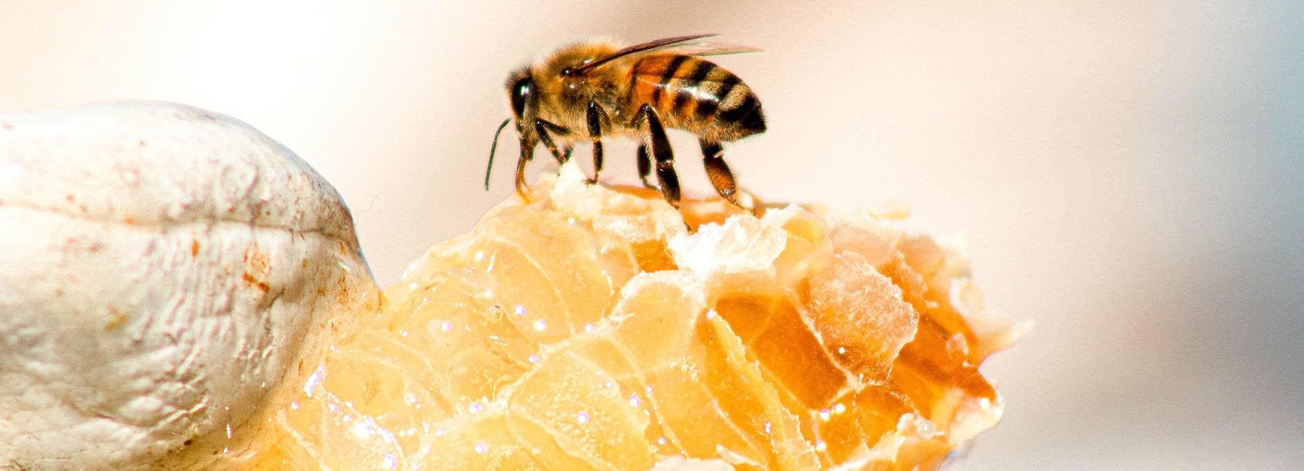 Bee on comb of honey